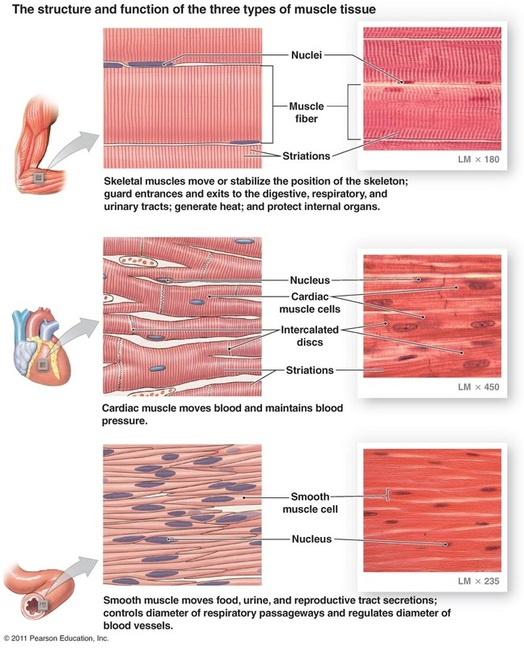 5 1 Muscle Tissue Categories And Functions Anatomy Physiology